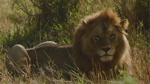 a lion from Sheryl Sinkow's trip to East Africa